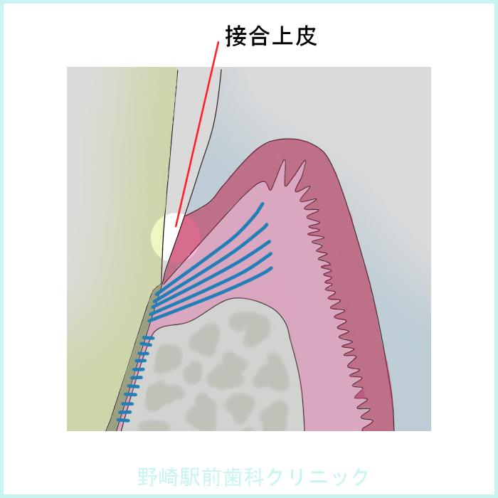 接合上皮の構造